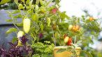 Vườn xinh với chậu rau thơm hoa quả