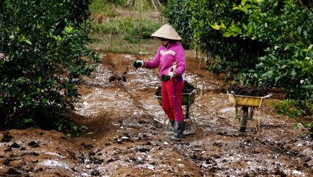 Nông dân tại Măng Đen (tỉnh Kon Tum) cải tạo đất bằng phân bò và làm sạch vi khuẩn trong đất bằng vôi bột để chuẩn bị trồng rau theo quy trình hữu cơ. Ảnh: MAI VINH