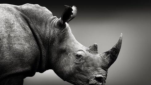 Sừng giả có cứu được tê giác thật?