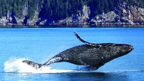 Du lịch Úc mùa Covid-19: Ra biển xem cá voi, trèo đèo ngắm khuynh diệp