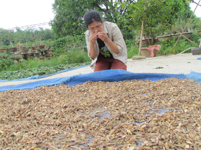 Evaluate the scent of dried leaves to make incense - Photo: Bao Chau