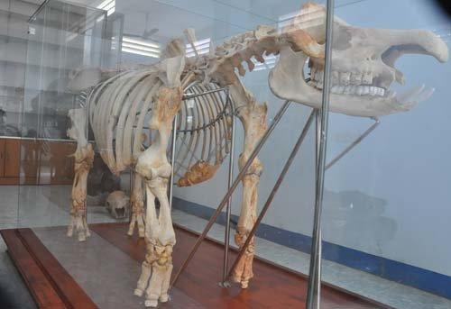 Phục dựng thành công bộ xương tê giác - Tuổi Trẻ Online