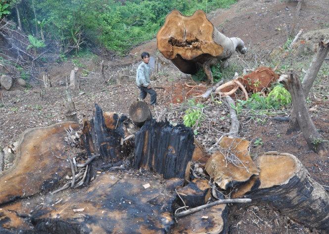 Rừng ở xã Hiếu, huyện Kon Plông (Kon Tum) bị chặt phá - Ảnh: TẤN VŨ