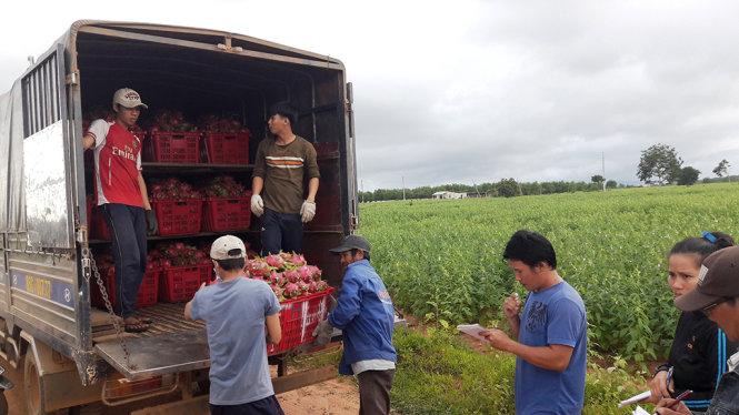 Thương lái thu mua trái thanh long tại huyện Hàm Thuận Nam, Bình Thuận để đưa đi xuất khẩu sang Trung Quốc theo đường biên mậu. Tỉnh Bình Thuận hiện là địa phương có sản lượng trái thanh long lớn nhất thế giới - Ảnh: NG.NAM  Bình Thuận xây dựng trung tâm đầu mối nông sản sạch trung tam nong san sach 11 12 1481446143