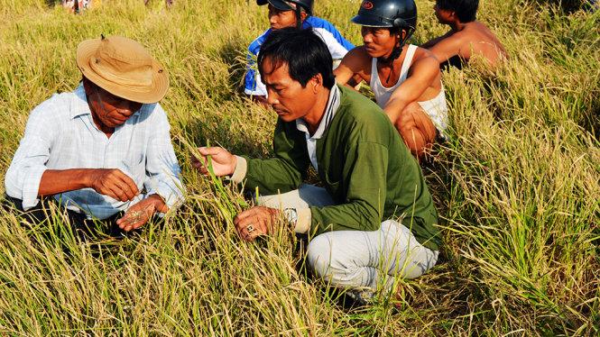 Nông dân Kiên Giang chịu thiệt hại nặng nề trong đợt hạn hán lịch sử năm 2015-2016 - Ảnh: K.NAM