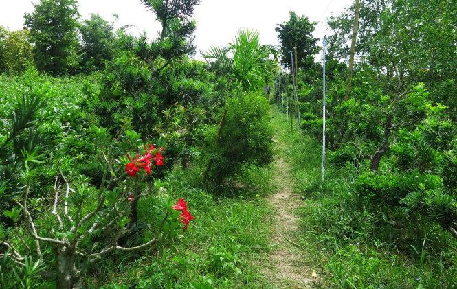 4a. Khu vườn ngăn ngắt xanh vạn niên tùng, chấm phá lập lòe sứ đỏ.