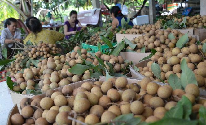 Nhãn là một trong số ít trái cây tươi vừa được chấp nhận tại thị trường Mỹ. Trong ảnh: thu hoạch nhãn Edor tại Châu Thành, Đồng Tháp. -Ảnh: Thành Nhơn