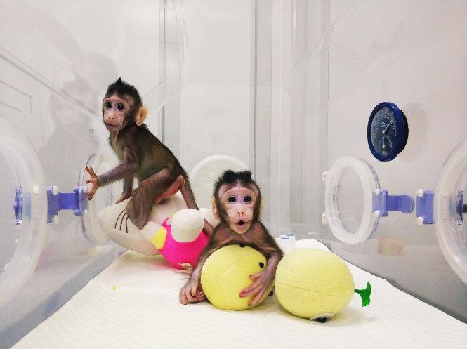 Hai con khỉ nhân bản vô tính đầu tiên. Ảnh: nbcnews.com