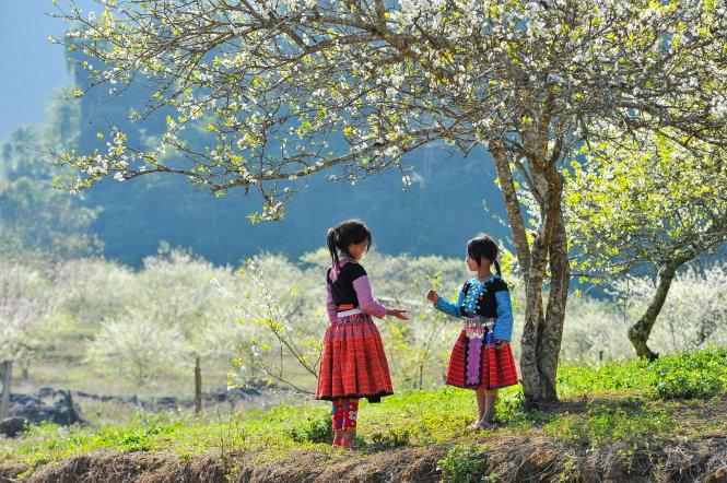Hoa mận trắng muốt đã và đang khiến Mộc Châu trở thành một điểm đến hấp dẫn trong những ngày Tết. Ảnh: Việt HÙng