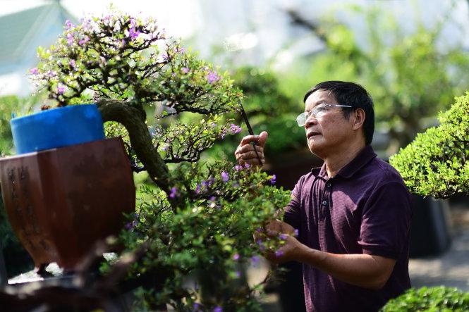Ông Trần Thắng, 65 tuổi, ở Q.Bình Tân, TP.HCM là một nghệ nhân bonsai nổi tiếng của cả nước. Trong ảnh: ông Trần Thắng chăm sóc các chậu bonsai linh sam vừa nhú hoa kịp dịp Tết này. Ảnh: QUANG ĐỊNH