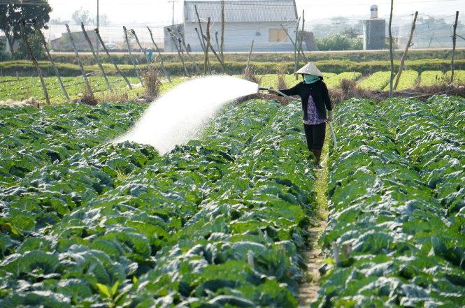 Vườn rau cải canh tác theo quy trình nông nghiệp hữu cơ của người dân Chu Ru (xã Tu Tra, huyện Đơn Dương, tỉnh Lâm Đồng). Ảnh: MAI VINH