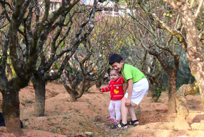 Hàng ngàn gốc đào khoe sắc ở thung lũng hoa đào Mười Lời (P.4, TP Đà Lạt, tỉnh Lâm Đồng). Ở đây có những cây đào Nhật Tân được cố nghệ nhân Mười Lời ghép với mai anh đào tạo nên loài cây độc đáo. Ảnh: MAI VINH
