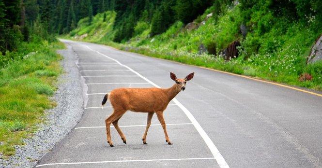 Không phải là chú nai đang băng qua đường, chính con đường đã xâm phạm vào cánh rừng của chú. Ảnh: cnbc.com
