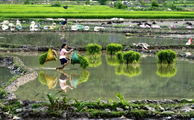 Người nông dân gánh mạ ra đồng chuẩn bị cấy tại cánh đồng Pò Peo