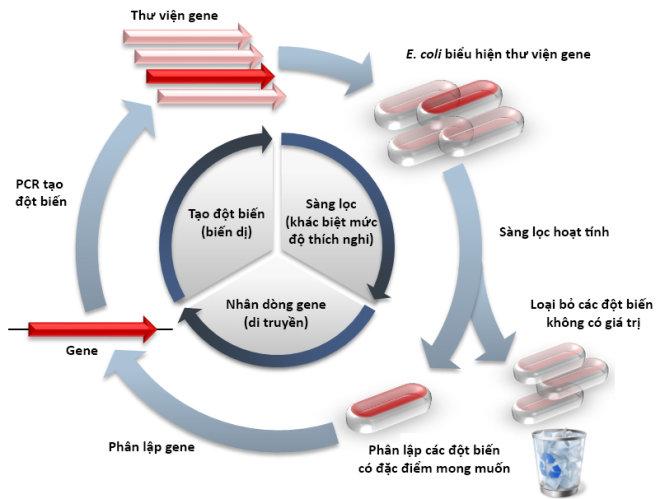 Sơ đồ mô tả một chu trình tiến hóa định hướng thông qua việc tạo đột biến và sàng lọc protein biểu hiện ở vi khuẩn đường ruột Escherichia coli. Chu trình được lặp đi lặp lại cho đến khi sàng lọc được protein có tính chất mong muốn. Nguồn: Wikipedia
