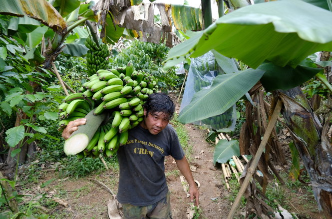 Một buồng chuối Laba đạt chất lượng nặng hơn 50kg, thu hoạch khi còn xanh để có thể bảo quản lâu và được ủ chín tại nơi tiêu thụ. Ảnh: M.VINH