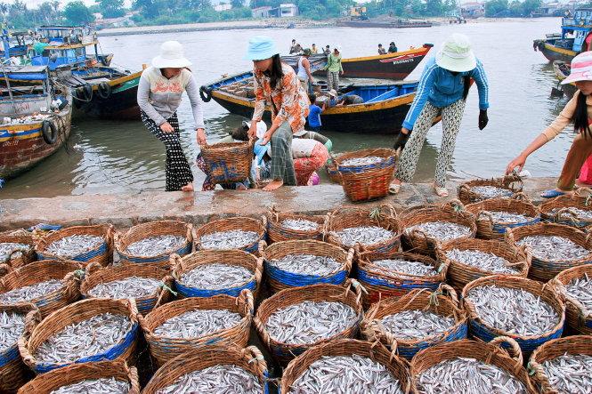 Cá cơm tại Bình Thuận sau khi đánh bắt ở biển sẽ được phân loại để làm nước mắm hoặc cá hấp. Ảnh: Ngô Đình Hòa