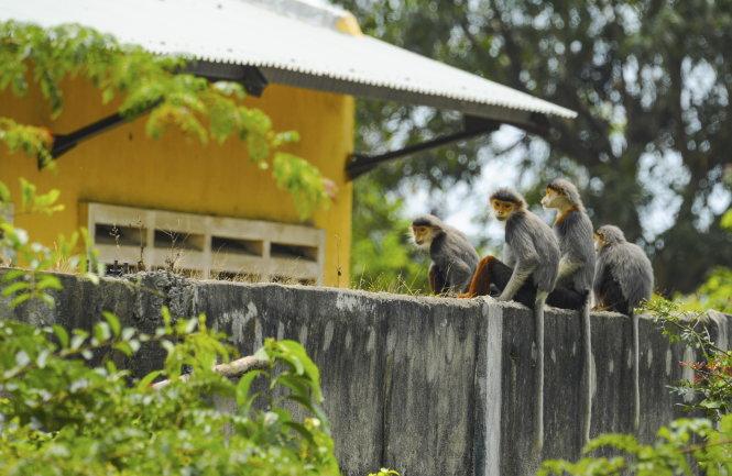 Gia đình voọc 4 con trên tường rào một ngôi nhà. Ảnh: Trần Văn Dũng