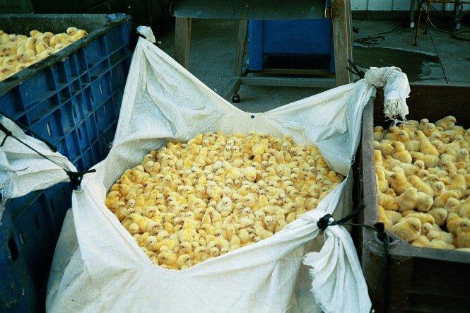 Gà trống con mới nở rơi từ băng chuyền vào bao tải, chuẩn bị đến tủ hơi ngạt. -Ảnh: behemla-animals.org