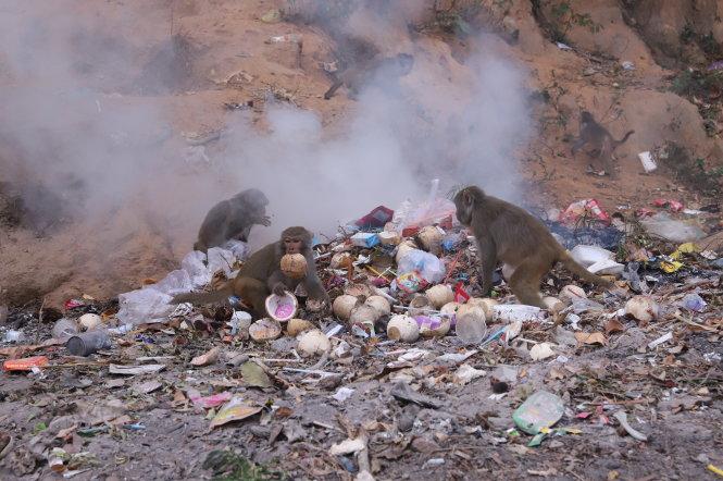 Khỉ Sơn Trà bới rác tìm thức ăn. Ảnh: Trường Trung