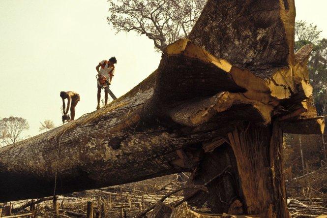 Tình trạng phá rừng để khai thác gỗ và phát triển nông nghiệp là mối đe dọa lớn nhất với rừng Amazon. Ảnh: Getty Images
