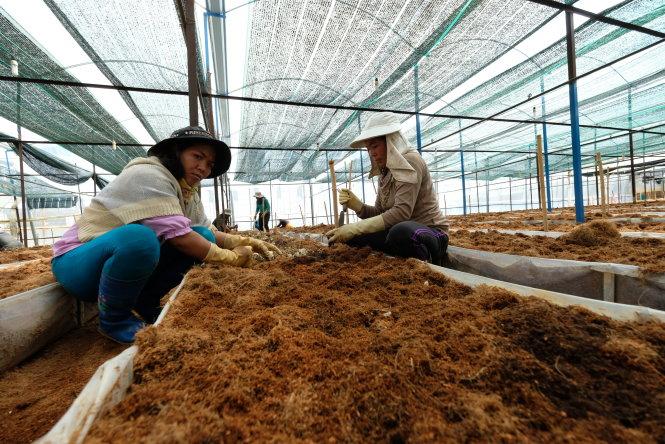 Những nông dân làm thuê trong khu nhà kính nóng bức, nhiệt độ cao hơn bên ngoài từ 30C. Ảnh: M.VINH