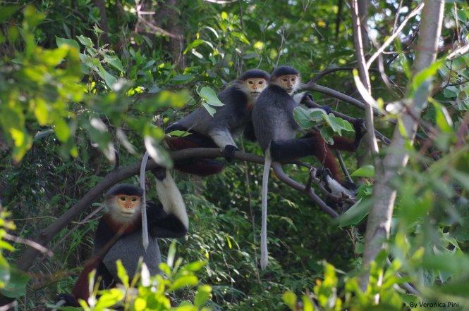 Một bầy voọc ở Sơn Trà. Ảnh: Veronica Pini