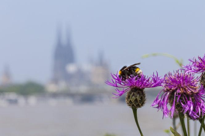 Nguồn thực phẩm của ong trong thành phố đa dạng hơn ở vùng nông thôn. Ảnh: JSTOR Daily