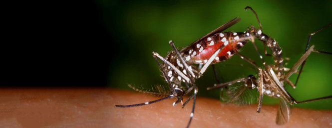 Một cặp muỗi vằn Aedes albopictus đang giao phối, đây là chủng muỗi gây truyền nhiễm các bệnh sốt xuất huyết, Zika và sốt vàng. Con muỗi cái lớn hơn muỗi đực nhiều. Ảnh: Wikimedia Commons