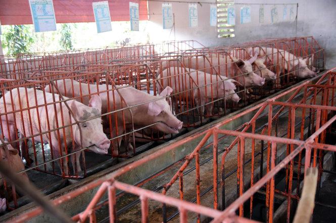"""Tổng đàn heo tại """"thủ phủ"""" chăn nuôi heo Đồng Nai đã giảm khoảng 40%, còn 1,47 triệu con so với trước khi dịch ASF xuất hiện. Ảnh: A LỘC"""