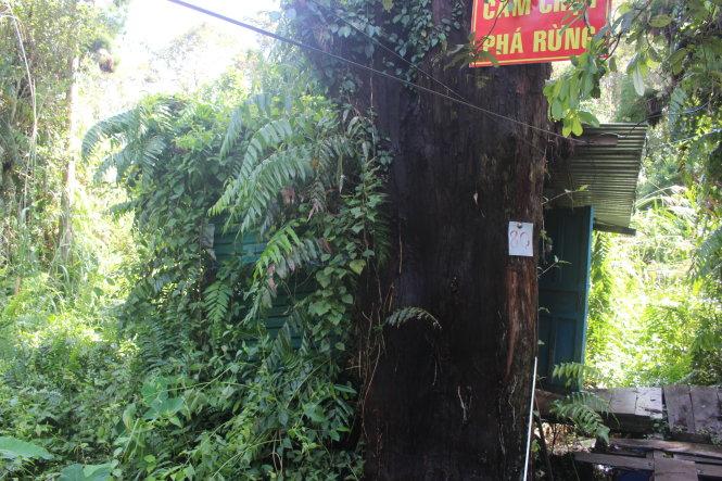 Cây thủy tùng gần 600 năm tuổi, là cây lớn tuổi nhất trong số những cây thủy tùng hiện có. Ảnh: Nguyên Hằng
