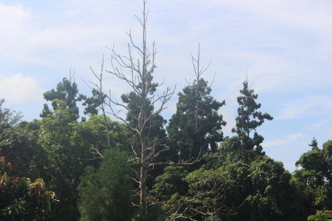 Khu bảo tồn loại sinh cảnh thông nước (thủy tùng) xã Ea Ral, huyện Ea H'leo, tỉnh Đắk Lắk. Ảnh: Nguyên Hằng