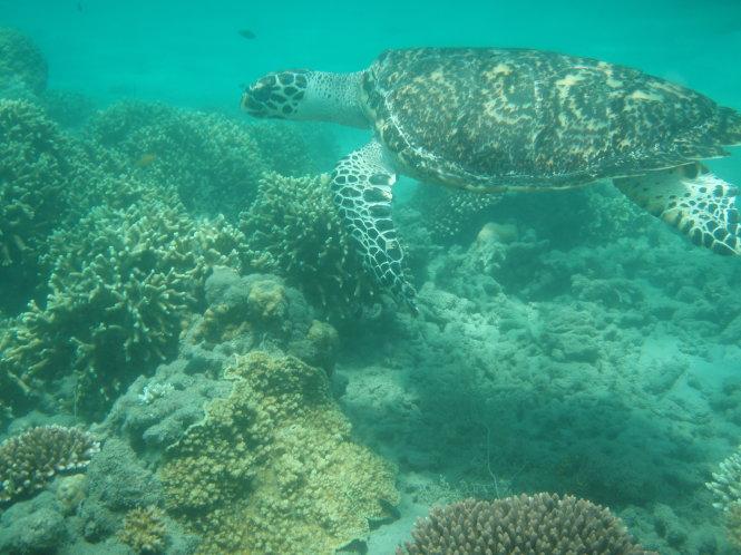 Đồi mồi ở biển Côn Đảo. Ảnh: Văn Vững