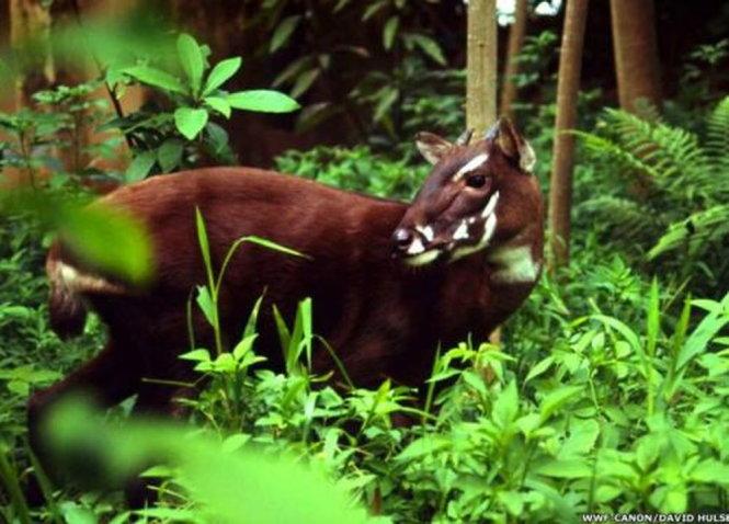 Cá thể sao la trong tự nhiên được giới bảo tồn chụp lại bằng bẫy ảnh. Ảnh: WWF