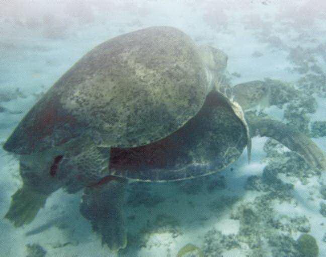 Vích đang kết bạn, giao phối ở biển Côn Đảo. Ảnh Vườn Quốc gia Côn Đảo cung cấp