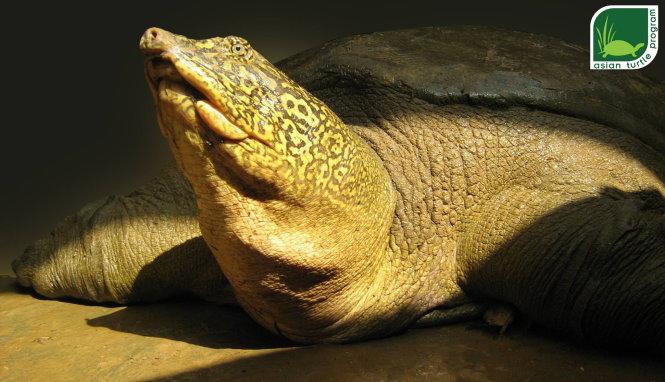 Cá thể rùa Hoàn Kiếm được tìm thấy ở hồ Đồng Mô vào năm 2007. Ảnh: ATP