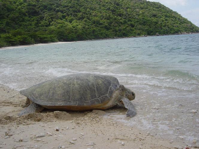 Vích mẹ ở bãi cát biển Côn Đảo. Ảnh: Vườn quốc gia Côn Đảo cung cấp