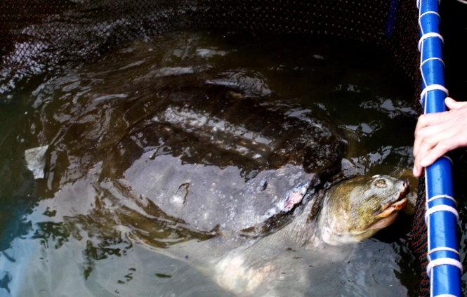 Rùa Hồ Gươm trong lồng chữa trị. Ảnh: Anh Tuấn